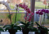 9 noteikumi, lai orhideja ziedētu visu gadu. Prasīgs, taču burvīgs augs