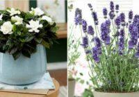 Pieci vislabākie aromātiskie istabas augi: lai jūsu mājoklī smaržotu lieliski