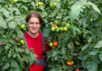 Pareizs veids kā stādīt tomātus – tā, lai viņi būtu 2 metrus garāki. Pamēģini un viss izdosies!