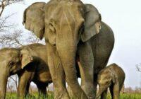Ziloņiem Āfrikā vairāk neaug ilkņi: šī evolūcija notikusi malu mednieku dēļ