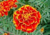 Zelta ziedi, kas ārstē kuņģi, aknas un redzi! Kā pagatavot tēju no tiem. Zāles pret daudzām kaitēm!