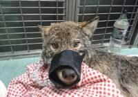 """3 strādnieki Igaunijā izglāba ledū ielūzušu """"suni"""" – viņi nezināja, ka tas ir vilks. Lūk kā viņi rīkojās"""