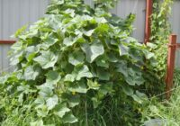 Gurķu audzēšana mucā kļūs par tavas vasarnīcas rotu
